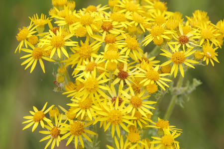 resemble: A cluster of wild golden Ragwort resemble miniature daisies. Stock Photo