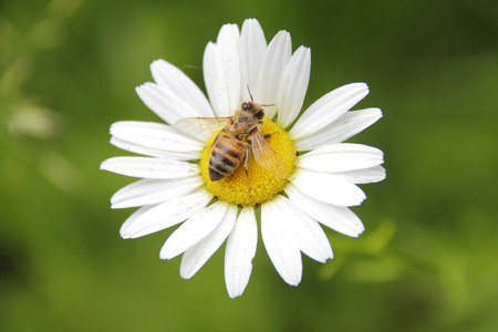detailed shot: Close detailed shot of a wasp pollinating a daisy.