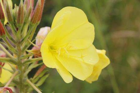 달맞이꽃 오일은 다양한 피부 자극을 위해 사용되어왔다.