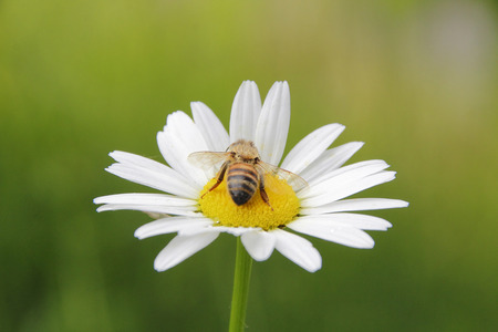 detailed shot: Detailed shot of a wasp pollinating a daisy. Stock Photo