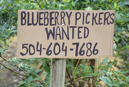 seeks: A homemade sign seeks blueberry pickers.