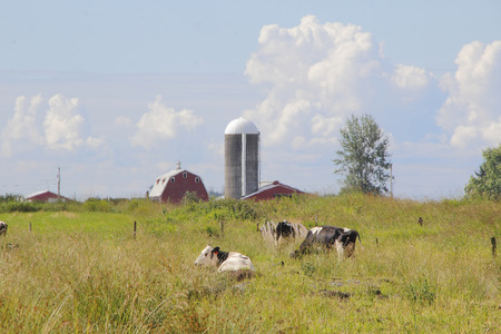 washington landscape: Dairy cows resting in pastureland and farm buildings comprise a Washington landscape.
