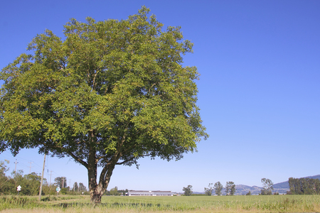 full shot: Full shot of a large Elm tree in a rural setting. Stock Photo