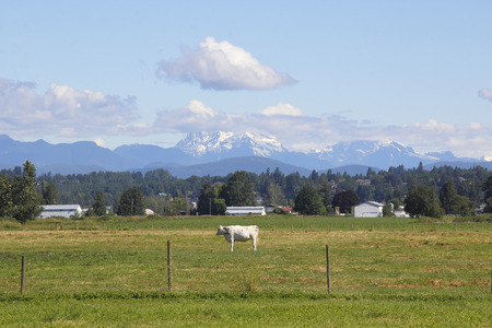 snow capped mountain: A single, white dairy cow stands in front of a snow capped, mountain landscape. Stock Photo
