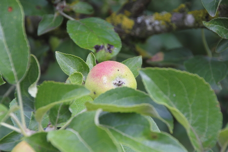 reddening: A small crab apple ripens on a tree branch.