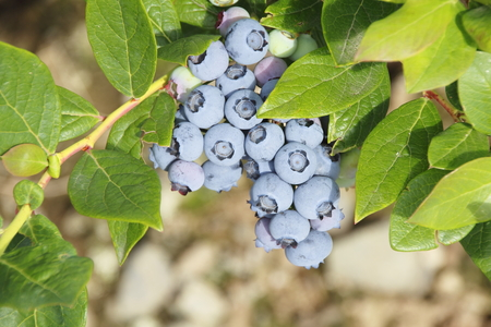 plump: Plump, ripe blueberries are days away from harvesting.
