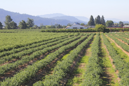 acreage: Acres of berries are successfully grown in the lowlands.