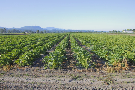 acres: Acres of Pumpkin plants provide an alternative crop for farmers. Stock Photo