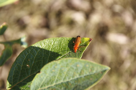 long shots: Medium Close on a red Soldier Beetle sitting on a leaf. Stock Photo