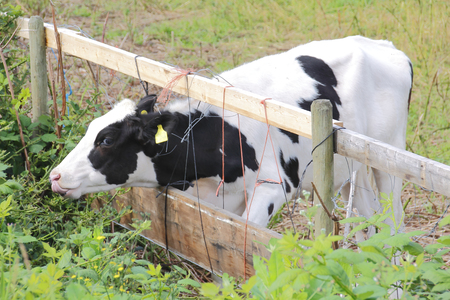 other side of: A young cow seems to think the other side of the fence has greener pastures.