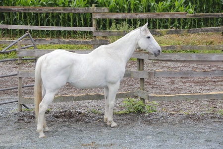 gelding: Full profile of a mature white Gelding standing in his corral. Stock Photo
