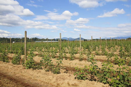 acres: Acres of raspberry plants have been freshly planted and will bear fruit by the same time next year. Stock Photo