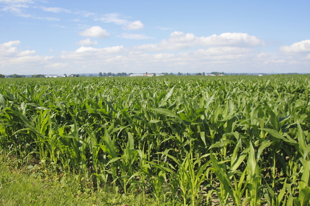 acres: Acres of summer maize or corn spread across the rural landscape.