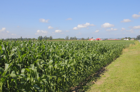 acres: Acres of summer corn ripens in the bright sunlight.
