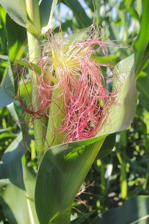 maturity: Reddish golden corn cob silk during mid-season of maturity.