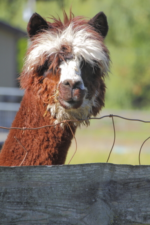 uncombed: Vertical view of the face of a brown and white Llama.