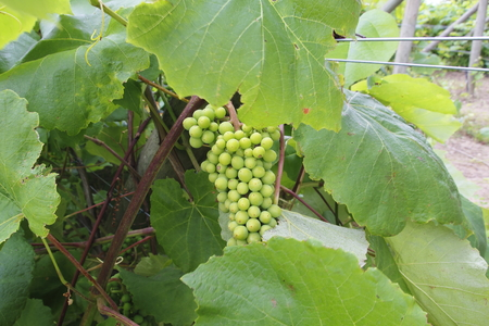 Canadian grapes ripening in a small, local vineyard during the summer months.