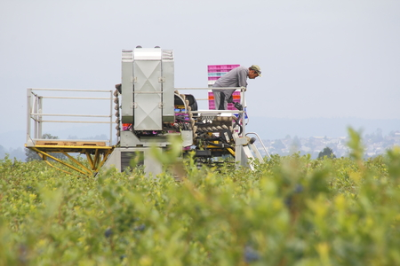 steers: A Canadian East Indian farmer steers the blueberry picking machine through a crop near Mission, BC, on July 15, 2016.