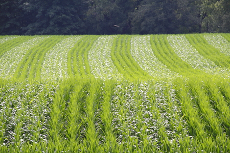 in unison: Lines of corn on a rolling hill provide natures summer patterns. Stock Photo
