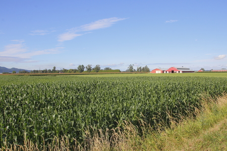 acreage: Ideal summer conditions provide for a bumper crop of corn. Stock Photo