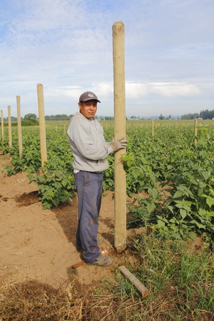 erecting: A Mexican with a temporary work visa, installs posts for raspberries on a farm near Abbotsford, BC, on July 25, 2016. Editorial