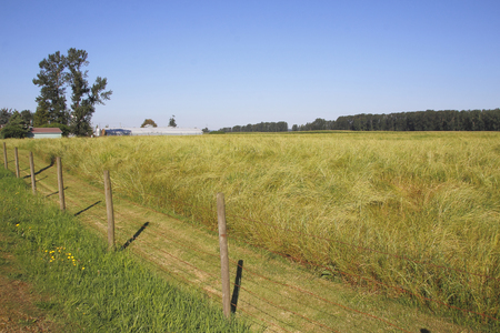 Acres of golden yellow grassland is ready for harvesting. Stock Photo
