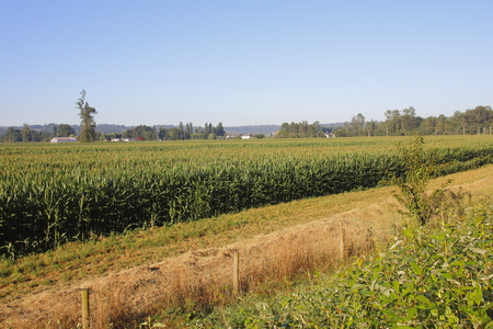 as far as the eye can see: A field thick with corn or maize after ideal summer growing conditions.