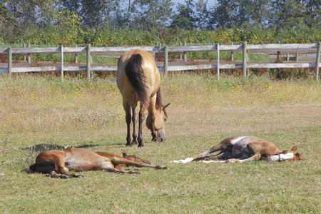 Two ponies sleep while their mother grazes in the pasture.