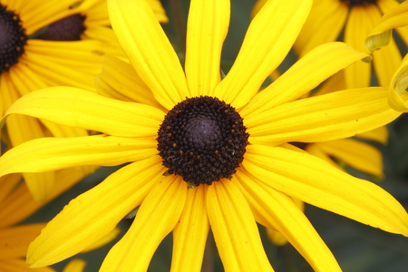 susan: Close detailed look at a Black-Eyed Susan, part of the Sunflower family.