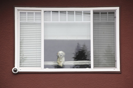 framed: A white Maltese dog sits inside a house framed by a large front window.