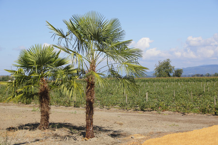 Despite a northern climate, Palm Trees are thriving in coastal British Columbia, Canada.