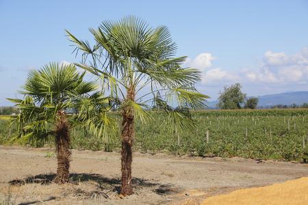 despite: Despite a northern climate, Palm Trees are thriving in coastal British Columbia, Canada.