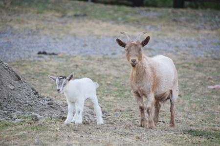 나이지리아 드워프 염소 (Nigerian Dwarf goat)는 서부 아프리카 가계의 미니어처 낙농 염소종입니다. 스톡 콘텐츠