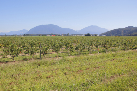 acres: Rural Western Canada and acres of ripening fruit.