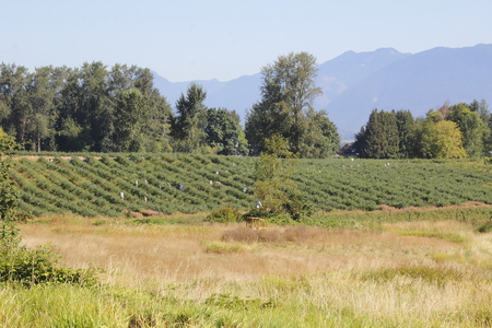 The valley berry orchards are occupied by field workers picking the fruit. Stock Photo