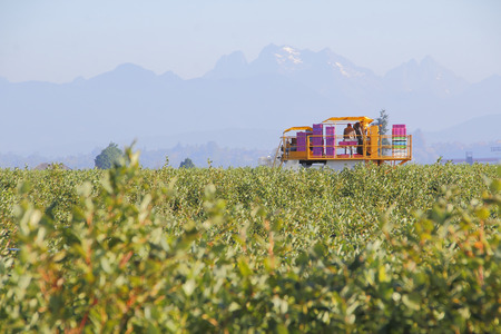 pacific northwest: A large machine is used to pick blueberries in the Pacific Northwest.