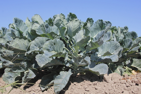 matures: Low angle view of thick, green cauliflower as it matures in the field. Stock Photo