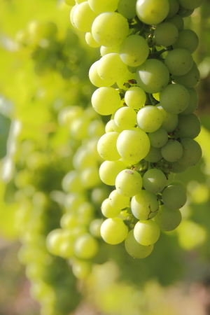 bacchus: Close on Canadian west coast Bacchus grapes ideal for white table wine.