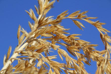 Detalle cercano en el maíz y sus anteras colgantes de señalización del proceso de polinización está en marcha. Foto de archivo - 64223677