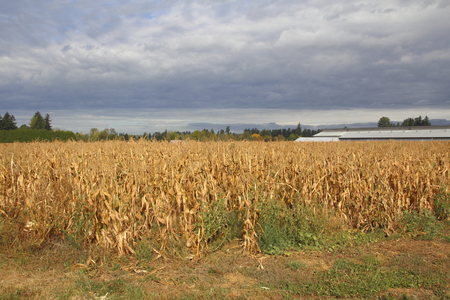 wiped out: Dark clouds with no rain hover above drought stricken corn crops. Stock Photo