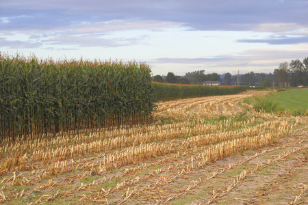 acreage: Corn still standing while another section has been harvested. Stock Photo