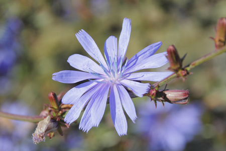 Chicory or Cichorium intybus, is a somewhat woody, perennial herbaceous plant of the dandelion family.