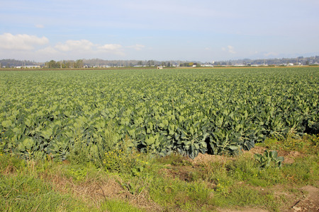 widespread: Acres of crop comprised of Brussels sprouts will be ready to harvest in a few weeks.