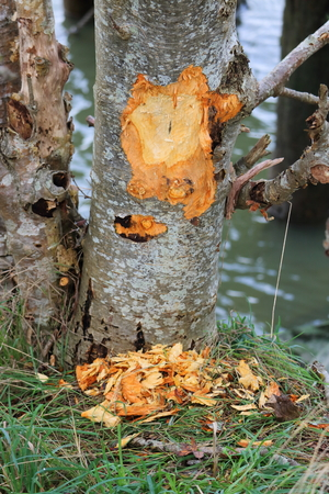 Marks on an Elm tree indicate damage caused by a beaver. Stock Photo