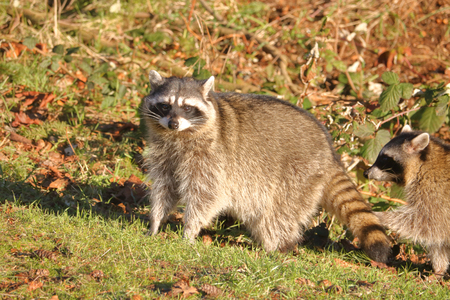A large adult female raccoon stands at attention facing camera. Archivio Fotografico