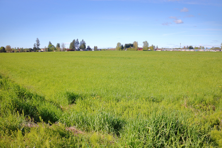 Thick, rich, green grassland in acres of farmland in Richmond, British Columbia.