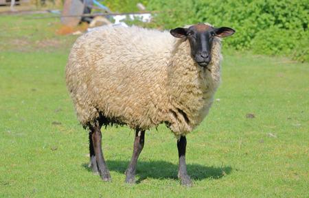 大きな雌羊や羊は、彼女の牧草地に立っています。