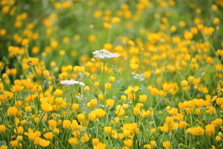White and delicate, Cow Parsnip in a field of yellow flowers. Stock Photo