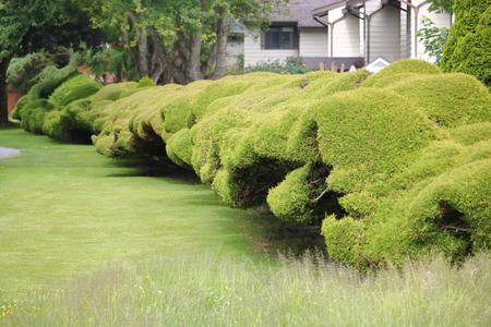 An example of a Boxwood Clouding hedge along residences. Фото со стока