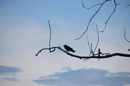 perched: The silhouette of a Blackbird perched on a bare tree. Stock Photo